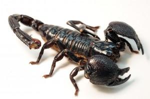 venin scorpion